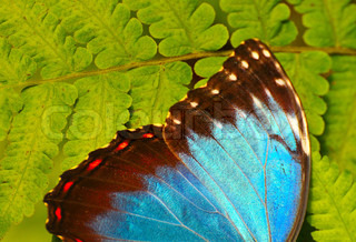 The blue butterfly sitting on a green leaf
