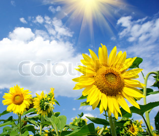 Nice sunflowers in the field with bright blue sky and fun sun