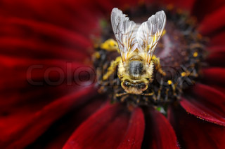 The detail of the bee on red flower
