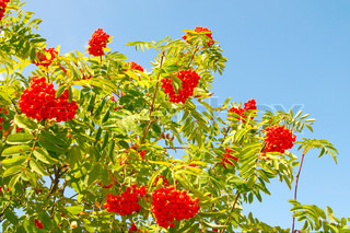 Beautiful rowan tree with red berry and blue sky