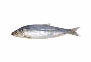 fresh fish isolated on white background for you