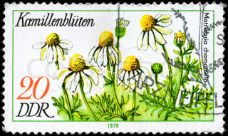 GDR - CIRCA 1978: A Stamp printed in GDR shows image of a Chamomile