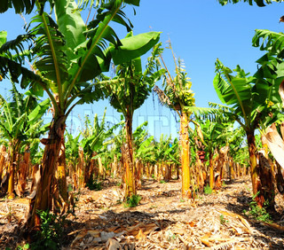 Banana Plantation Efter Gathering In The Harvest