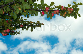 Twig apple-tree with red apples on sky background