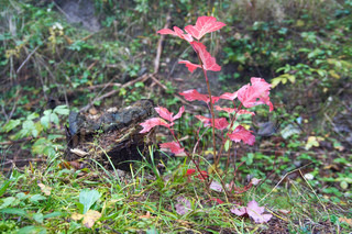 Small red autumn tree near dead stump on morning forest
