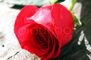 bright red rose bud in the garden
