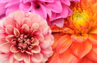 Smukke Flerfarvede Georginer Cloes -up
