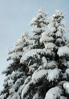 winter snow-covered coniferous tree tops in city park