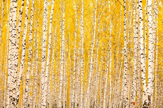 Autumn birch forest