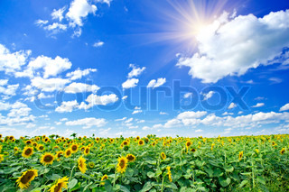 Fin sommer inden for solsikker og solen i den blå himmel