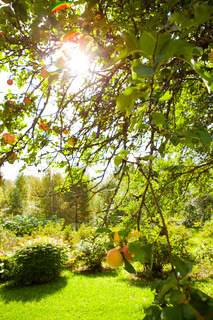 Apple tree in a garden with sunlight coming through the leaves