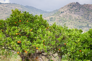 tangerine trees with mountains on background, Sicily