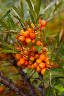 Close-up of delicious and healthy ripe sea-buckthorn berries