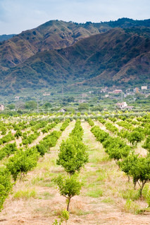 tangerine trees orchard with mountains on background, Sicily