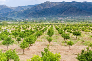 sicilian landscape - tangerine orchard with mountains on background