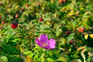 Wild dog rose with flower and fruits in autumn in Denmark