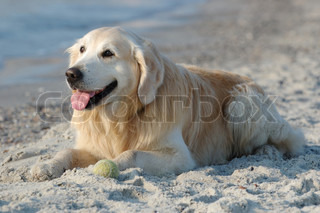 Glade golden retriever hund på stranden