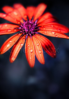Red wet flower head over night dark natural background, exotic daisy outdoor, beauty of nature