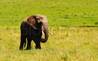 Big african wild elephant, walking in Savanna, game drive, wildlife safari, animals in natural habitat, beauty of nature, Kenya travel, Masai Mara