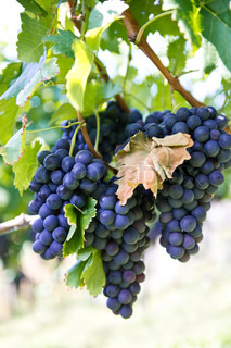 purple red grapes on the vine with green leaves