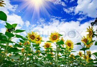 Amazing , fun sunflowers against blue sky