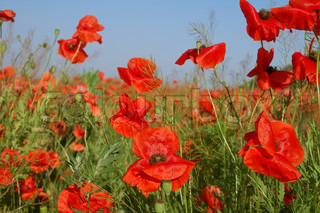 bright red poppies on summer field