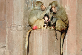 Hamadryas Baboon family is sitting in the sun