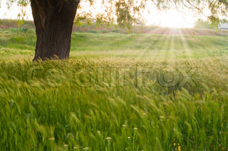 sunrise over a field of wheat