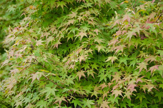 Japanese Maple, Acer palmatum, leaves showing the first signs of red color in autumn, background