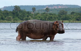 waterside scenery including a Hippo in Uganda (Africa)