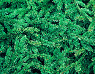fir tree background close up for christmas