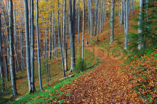 autumn colorful leaves from a beech trees forest