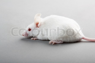 white laboratory mouse isolated on grey background