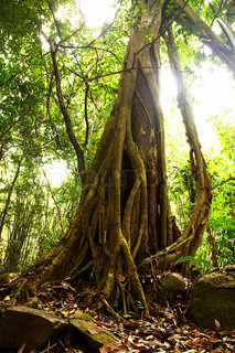 Giant Tree in the rain forest