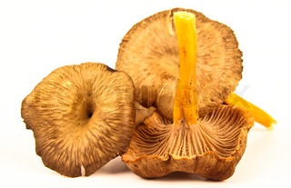 Fresh funnel chanterelle