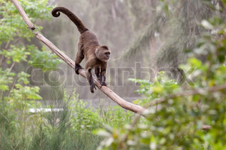 Monkey with long tail standing on a tree
