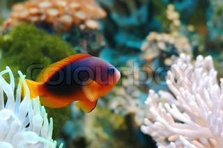 A red tropical fish with reefs and rocks in the background