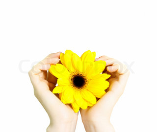 sunflower like the sun in hands isolated on white