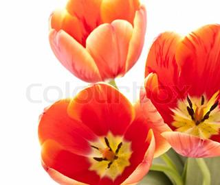 Smukke røde tulipaner på hvid baggrund