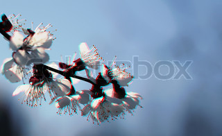 This photograph represent a spring blooming sakura cherry flowers branch
