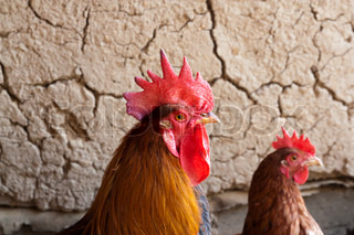 rooster and hen on the background of a clay wall