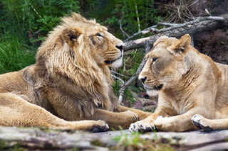 Lion family in the Zurich Zoo