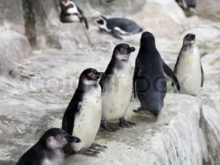 Wildlife animal nature - group of south pole penguin birds at cold snow antarctica ice