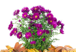 Small bush of purple chrysanthemums among the fallen down autumn leaves isolated