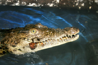 Crocodile eating an insect in the zoo