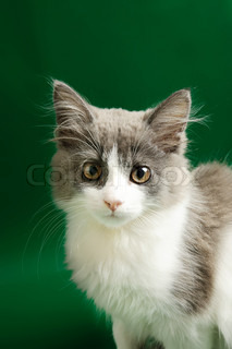 Cute little grey and white fluffy kitten on the green background