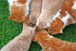 Cats family during feeding on green grass.