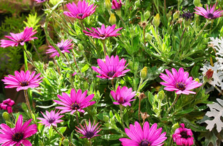 Pink daisies in the field