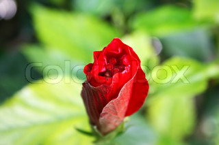 Red hibiscus flower bud horizontal picture