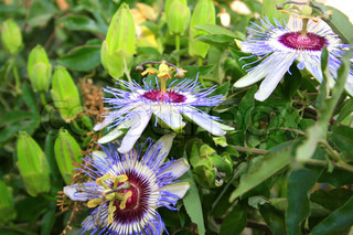 Passion flowers in the garden